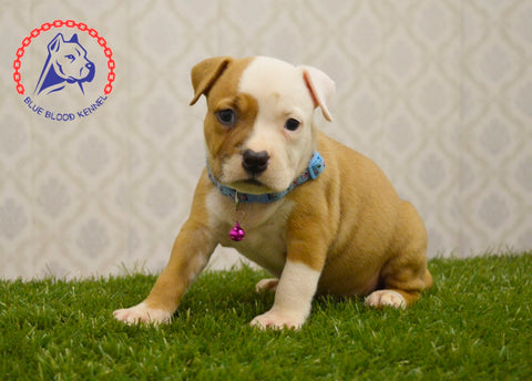 amstaff female puppy