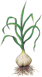 Seed garlic, Organic garlic, Colorado garlic, garlic, Farm Direct Organic Seed