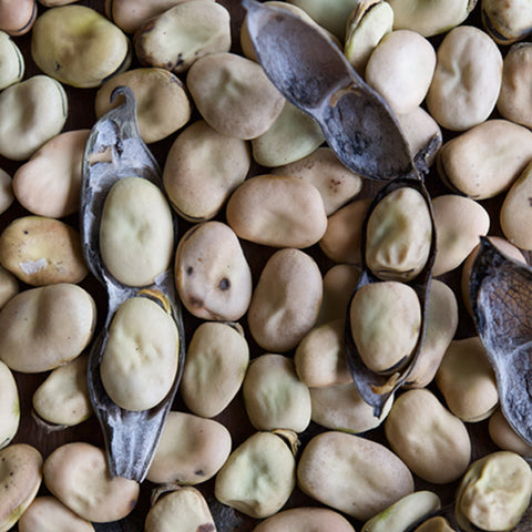 San Luis Valley Fava Bean (Vicia faba)