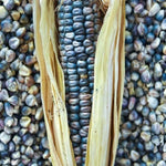 Hopi Turquoise Corn (culinary)