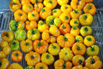 Afghan Orange Tomato (Lycopersicon esculentum)