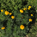 Crackerjack African Marigolds