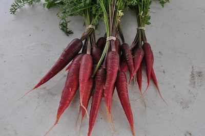Purple Dragon Carrot (Daucus carota)