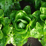 Emerald Fan Lettuce (Lactuca sativa)