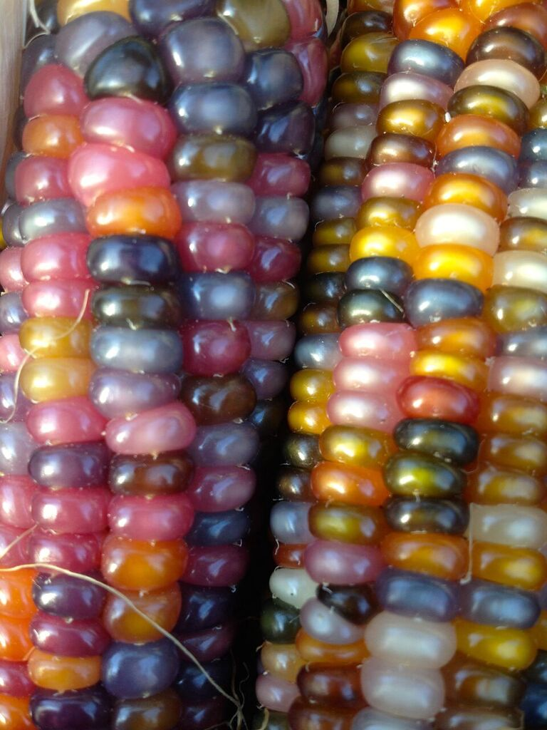Glass Gem Corn Zea Mays Pueblo Seed Food Co Pueblo Colorado