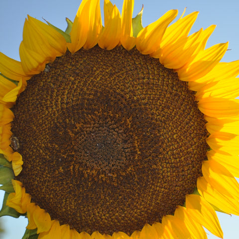 Hungarian Sunflower (Helianthus annuus)