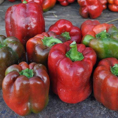 King of the North Pepper (Capsicum annuum)