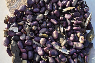 Purple Guatemalan Fava Bean (Vicia faba)
