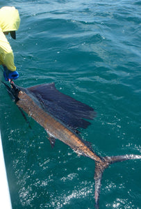 Catch a Sailfish on a Fly Rod !