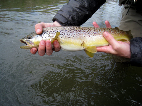 Brown Trout from Manistee River