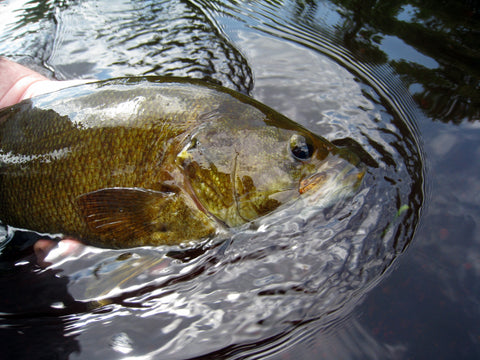Smallmouth bass from Huron River