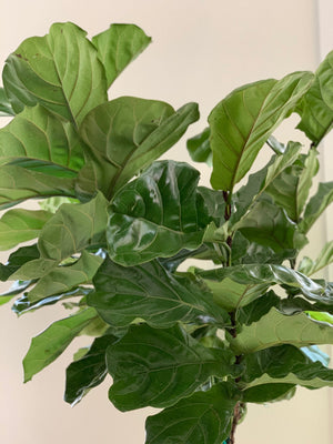 Fiddle Leaf Fig Tree, 14in.