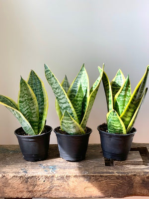 Sansevieria Laurentii, 4in.