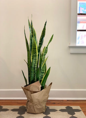 Sansevieria Laurentii, 10in.