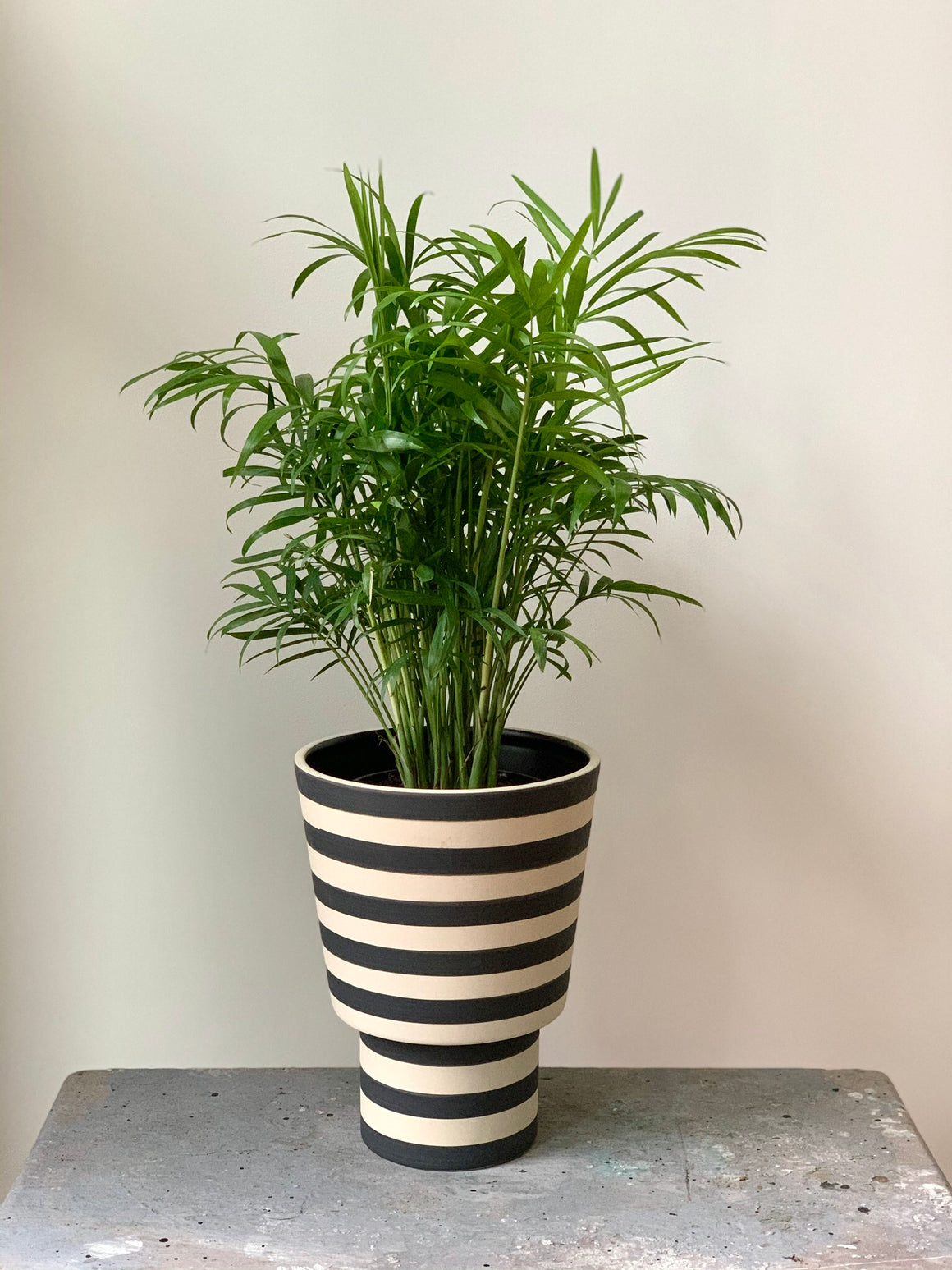 Striped Parlor Palm
