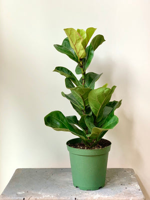 Fiddle Leaf Fig Column, 6in.