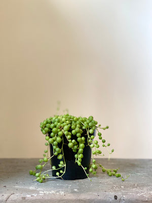 String of Pearls, 4in