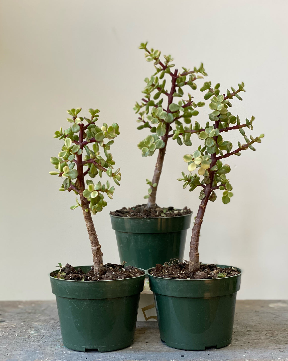 Mini Jade Topiary, 4in.