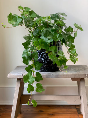 English Ivy, 6in.