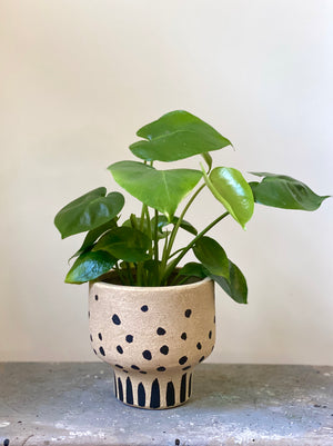 Dotty Monstera
