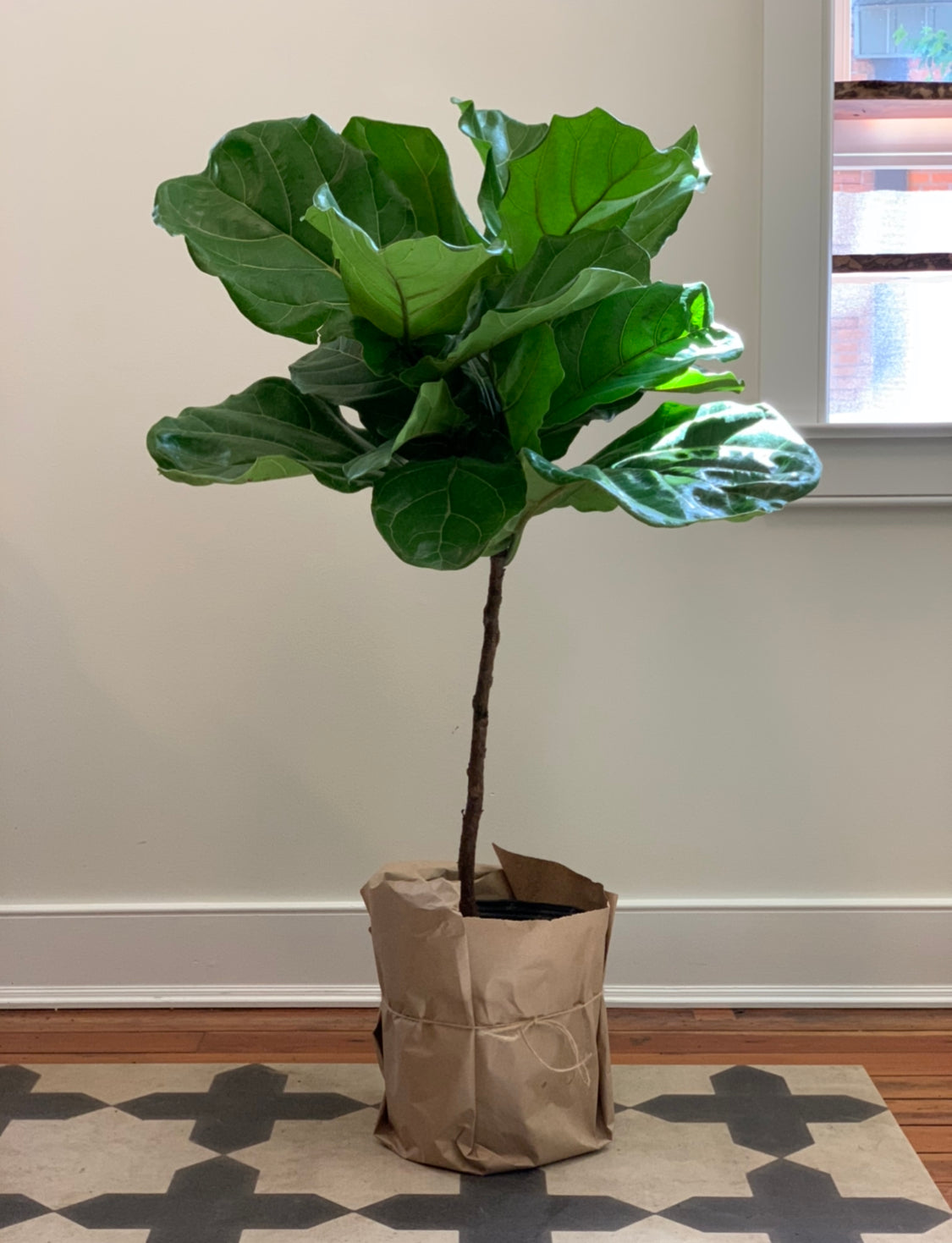 Fiddle Leaf Fig, Medium Tree