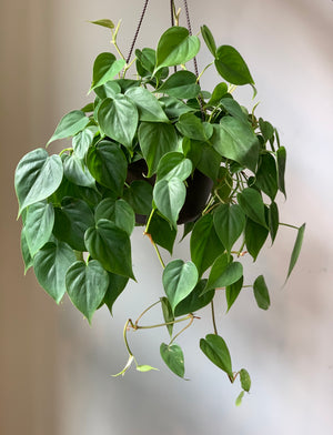 Philodendron Cordatum, Hanging