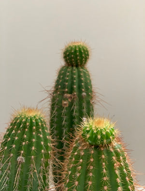 Flying Saucer Cactus, Large