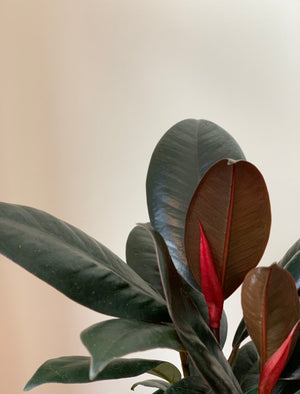 Burgundy Ficus, Small