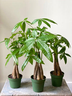 Money Tree, 4in.