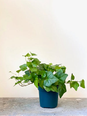 English Ivy, 4in.