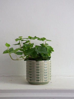 Potted English Ivy
