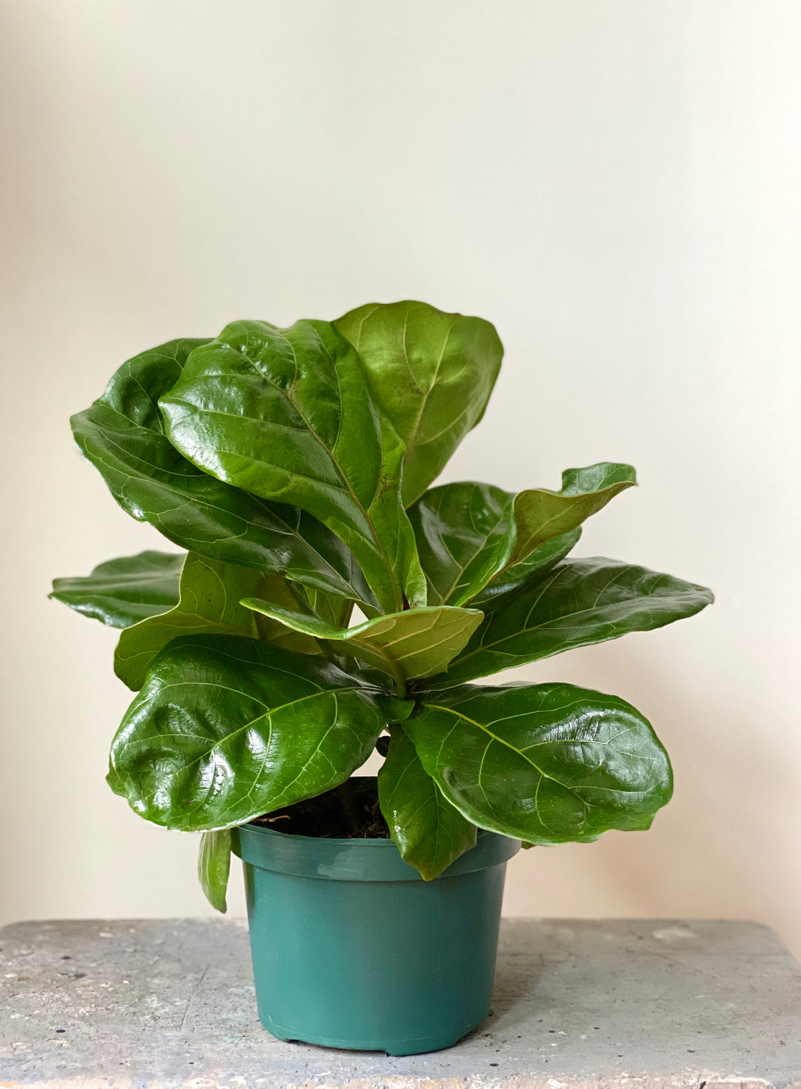 Fiddle Leaf Fig Bush, 6in.