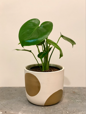 Dottie Monstera