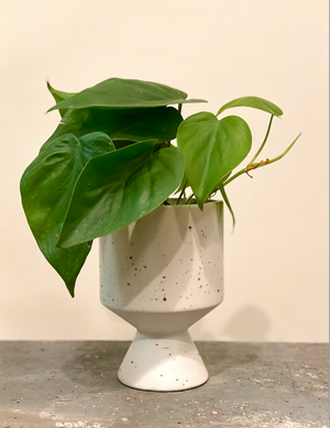 Stylish Philodendron