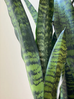 Sansevieria Black Coral, 6in.