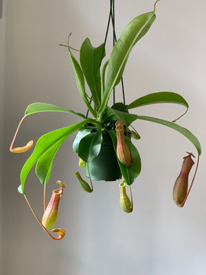 Pitcher Plant, 4in.