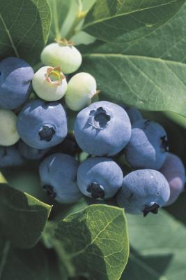6 Super Antioxidant Series: Bilberry vs. Blueberry
