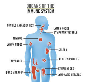Oxidative Stress and Immune System Health