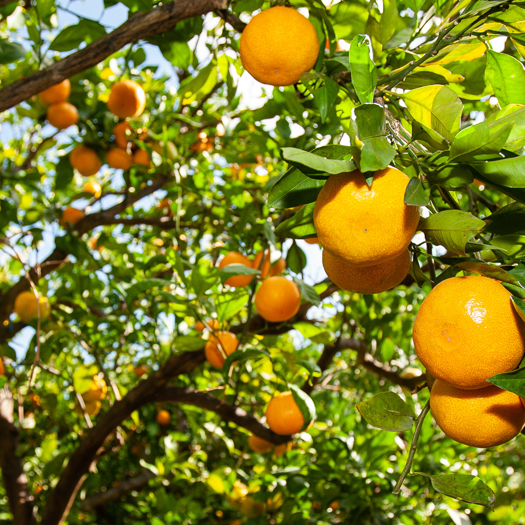 What You Need to Know About Orange Oil as a Natural Cleaner
