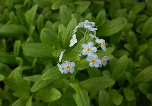 Aquatic Forget-me-not (Myosotis scorpioides)