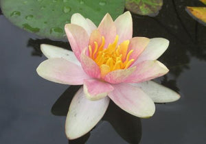 Nymphaea 'Aurora' - Small Changeable Perennial Waterlily