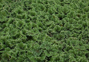 Azolla - Floating Pond Plant