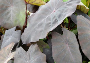 Black Taro (Colocasia esculenta 'Black Magic')