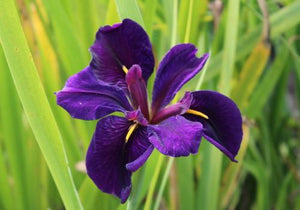 Black Gamecock - Purple Louisiana Iris