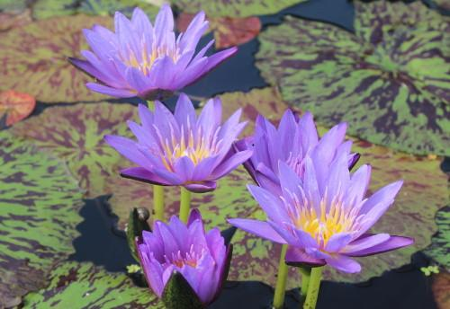 Blue Spider - Day Blooming Annual Waterlily