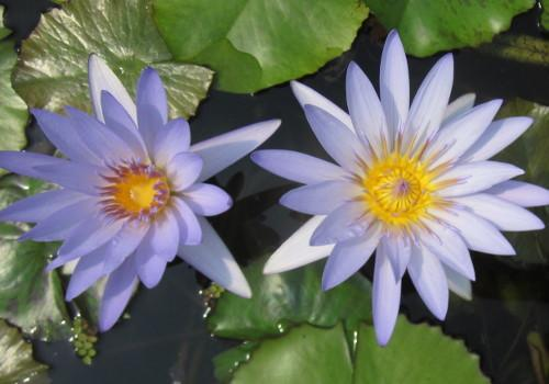 Blue Beauty - Blue Dayblooming Annual Waterlily