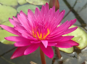 Bull's Eye - Day Blooming Annual Waterlily