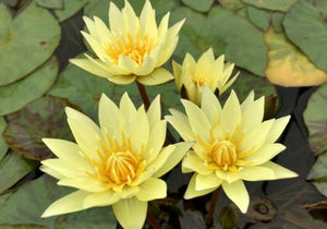Nymphaea 'Carla's Sonshine' - Day Blooming Annual Waterlily