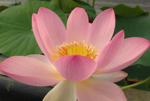Carolina Queen - Perennial Water Lotus