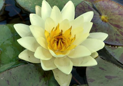Chromatella - Yellow Perennial Waterlily